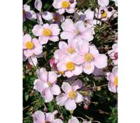 Herbst-Anemone 'Richard Ahren'