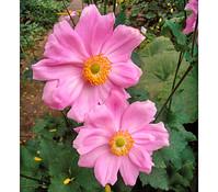 Herbst-Anemone, rosa, 13cm