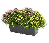 Herbst-Chrysantheme Kasten, Twin