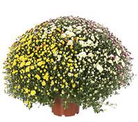 Herbst-Chrysantheme, Quattro