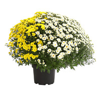 Herbst-Chrysantheme, Twin