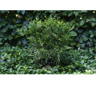 Hibalebensbaum