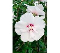 Hibiscus 'China Chiffon' - Garten-Eibisch