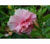 Hibiscus 'Duc de Brabant' - Garten-Eibisch