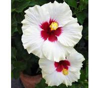 Hibiscus - Garten-Eibisch, Stämmchen, weiß