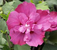 Hibiscus 'Purple Ruffels' - Garten-Eibisch