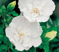 Hibiscus 'White Chiffon' - Garten-Eibisch