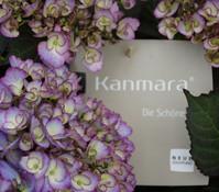 Hortensie 'Kanmara® Die Schöne'