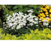 Immergrüne Schleifenblume - Schneekissen, weiß