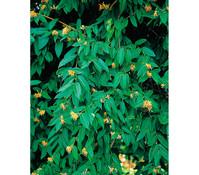 Immergrünes Geißblatt - Immergrüne Heckenkirsche