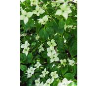 Japanischer Blumen-Hartriegel 'Chinensis'