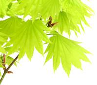 Japanischer Gold-Ahorn 'Aureum'