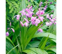 Japanorchidee - Gartenorchidee