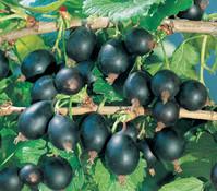 Johannisbeere 'Schwarze Perle'