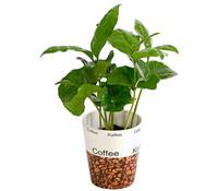 Kaffeepflanze, in Keramik