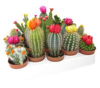 Kaktus mit Strohblüte