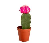 kaktus bei dehner bestechende sch nheiten dehner. Black Bedroom Furniture Sets. Home Design Ideas