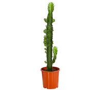 Kaktus-Wolfsmilch