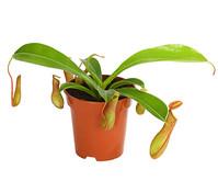 Kannenpflanze