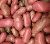 Kartoffel 'Sarpo Axona'