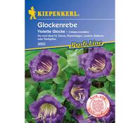 Kiepenkerl Saatgut Glockenrebe Violette Glocke