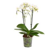 Kleinblütige Schmetterlingsorchidee, 2-Trieber, weiß