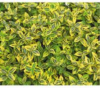 Kletter-Spindelstrauch 'Emerald Gold', 12er Set