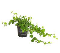 Kletterfeige - Ficus
