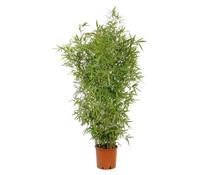 Knoten-Bambus