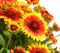 Kokardenblume, rot/gelb, 3er Pack