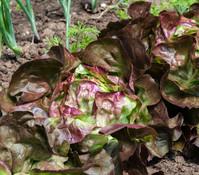 Kopfsalat Rotkäppchen, lausresistent, 12er Schale