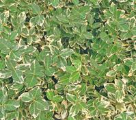 Kriech-Spindelstrauch 'Emerald Gaiety'