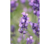 Lavendel, 12er Set