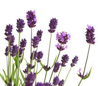Lavendel, 19 cm Topf