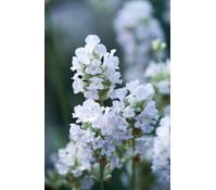 Lavendel 'Alba', 3er Pack