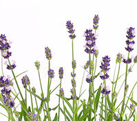 Lavendel 'Felice Purple'