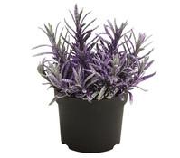 Lavendel, geglittert oder beschneit