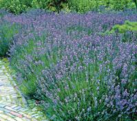 Lavendel 'Grappenhall', 3er Pack