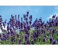 Lavendel 'Hidcote Blue', 3er Pack