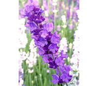 Lavendel 'Hidcote Blue®', 8er Set