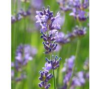 Lavendel, Hochstamm