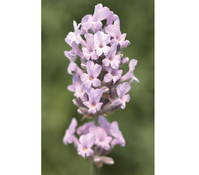 Lavendel 'Miss Katherine', 8er Set