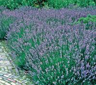 Lavendel T18