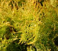 Lebensbaum 'Forever Goldy'