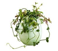 Leuchterblume, grün-weiß