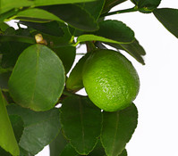 Limette 'Lima verde'