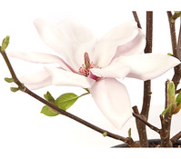 Magnolie 'Satisfaction'