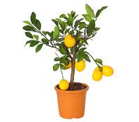 Meyer-Zitrone