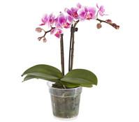 Midi-Phalaenopsis, 2-Trieber, Mix