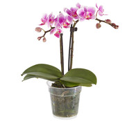 Midi-Phalaenopsis